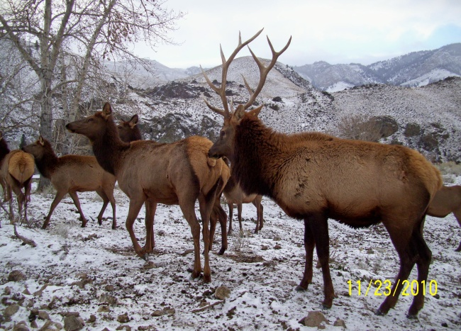 Elk herd bull