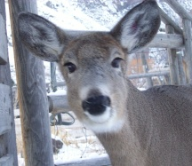 Deer Close up