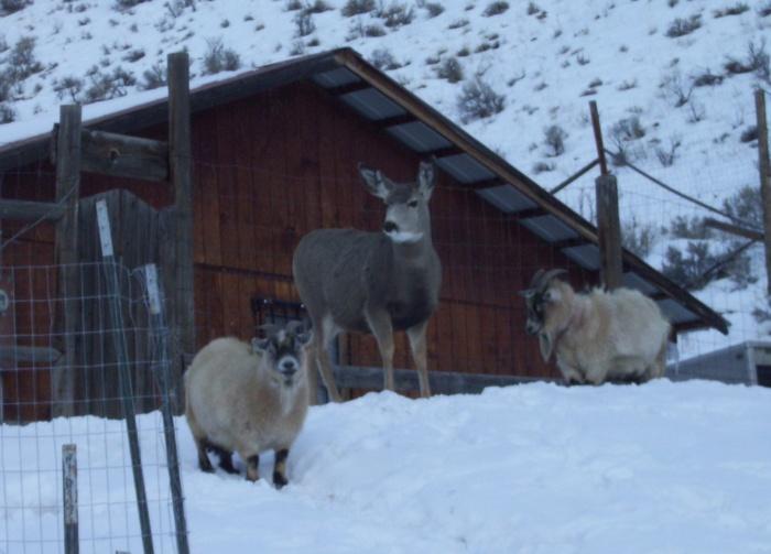 Deer-Goat friends